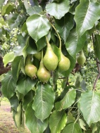 The littles pears